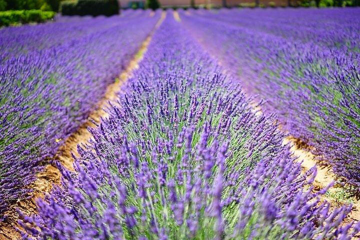 Advocacy Lavender